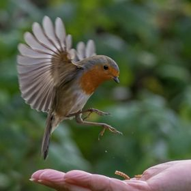 My wife has trained a robin to eat meal worms out of her hand in our garden. I couldn't resist taking a few pictures, but robins are very ve...