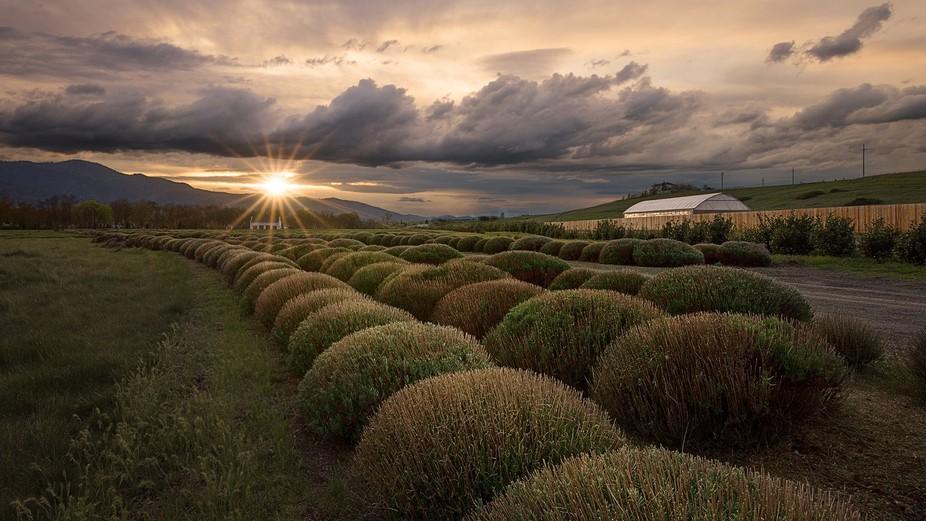 Pre-season lavender bushes line a beautiful driveway in Southern Oregon.