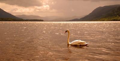 Bassenthwaite Swan