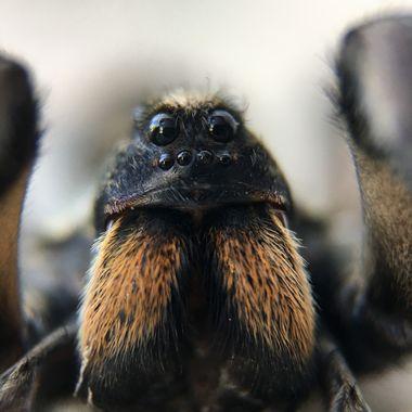 Wolf spider 1