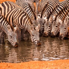 These zebras were visiting the Amboselli Waterhole in Kenya.
