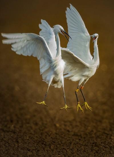Battle of the egrets