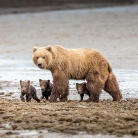 A family of brown bears leaving the water after an engaging lesson on the fine aspects of clamming on the mud flats in Lake Clark NP Alaska.