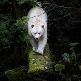 A Kermode (Spirit) bear emerges from the bush to catch some salmon on a coastal island of British Columbia. A Kermode bear has a double recessive...