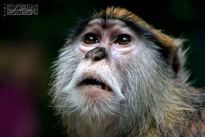 Sadness in the eyes by Ivansosaphotography - Monkeys And Apes Photo Contest