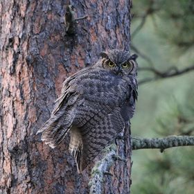A great horned owl rests on the branch of a large pine tree in South Dakota.  This sighting was alongside a lake near Mount Rushmore.  I was havi...