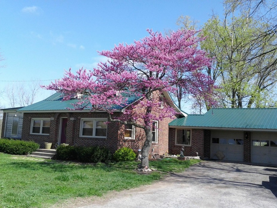 A beautiful Red Bud  tree in the yard of a house I use to live in.