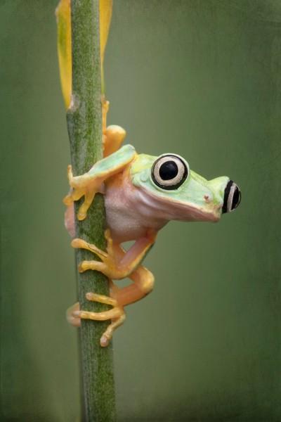 Hylomantis Lemur Tree Frog