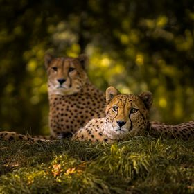 A Cheetah couple in the Cologne zoo in Germany. These two Cheetahs were among the most relaxed animals I've ever seen in a zoo. They were to...