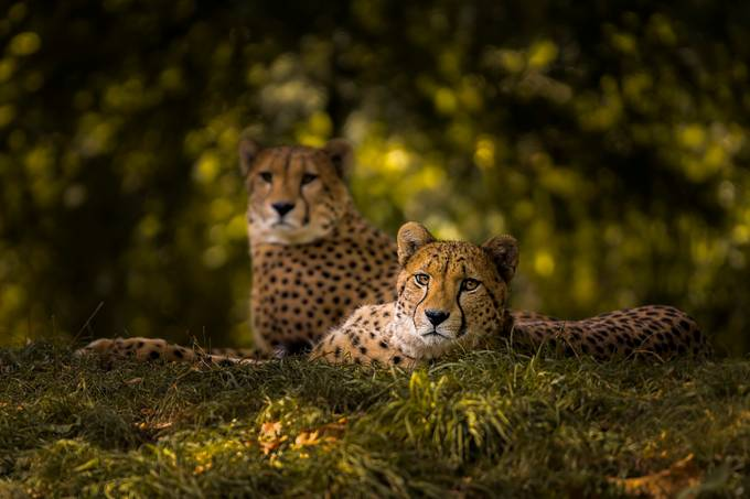 Cheetah Couple by sakevanpelt - ViewBug Photography Awards