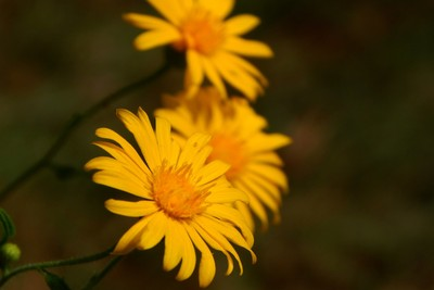 Yellow Flowers 10-10-16 1