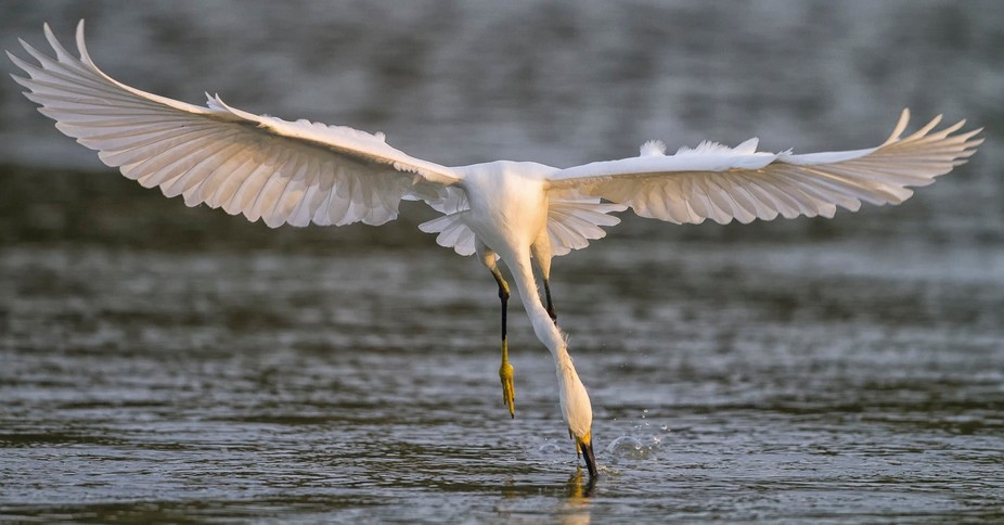 Everglades National Park, Florida .Egret flying over the surface trailing bill or feet in the wat...