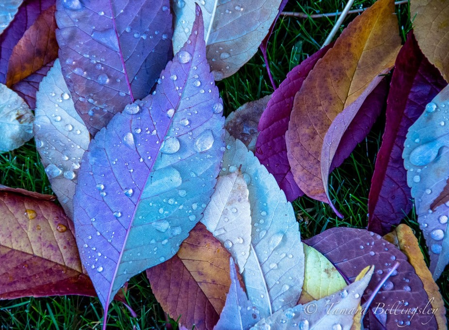 These leaves were on the ground and dew had formed on the backs of them, but not the fronts. Love...