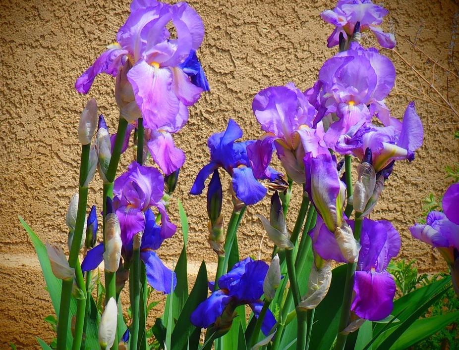Grandmother's Garden of Iris