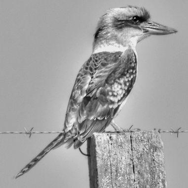 Kookaburra (Black & White)