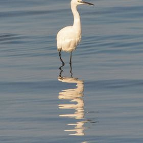 Egret, photo taken in Santa Ponsa Mallorca Spain