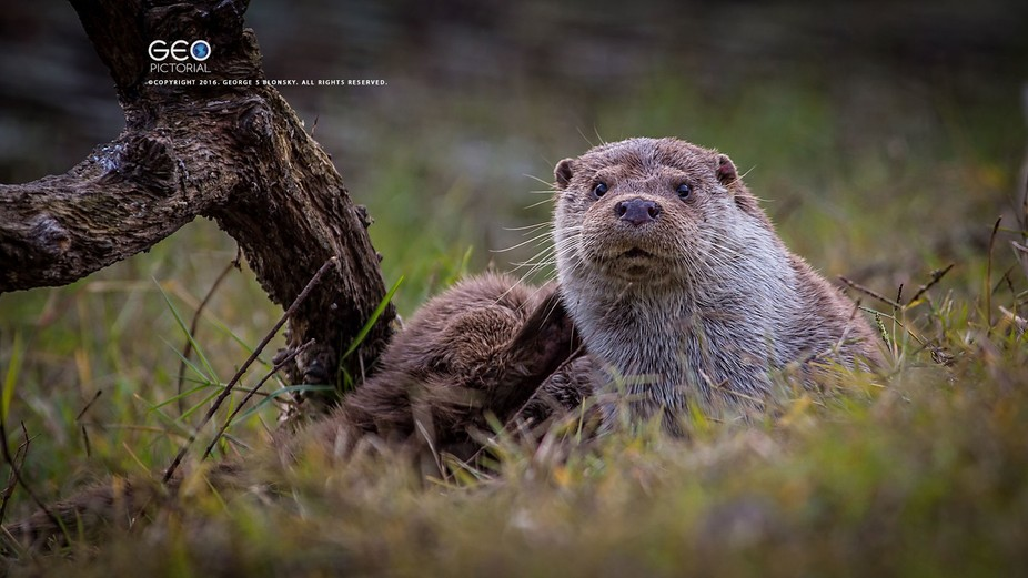 Eurasian Otter, Lutra lutra, sctratching that itch... photographed during one of our wildlife pho...
