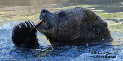 Toothpick using Grizzly Bear whilst bathing- by Robson Smith