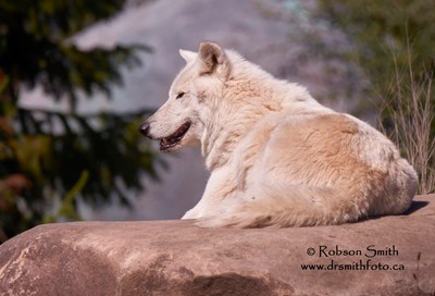 Sun tanning Arctic Wolf on rock Toronto Zoo - Photo by Robson Smith