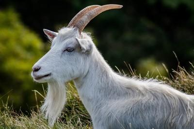 Kashmir Goat.