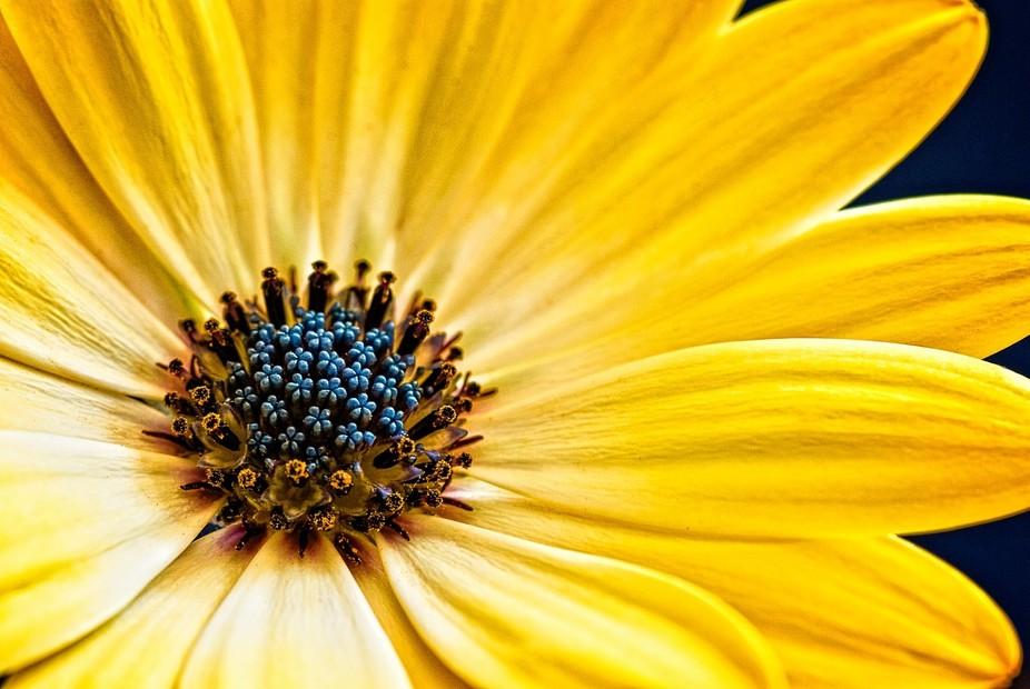 Osteospermum-'Buttermilk'_DSC0035