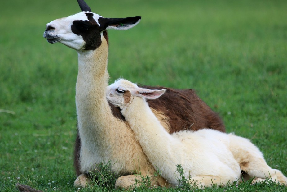 Mom and baby llama shot at Virginia Safari Park.