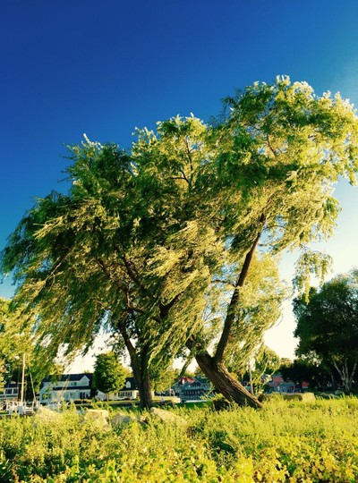 Weeping Willow in the Wind