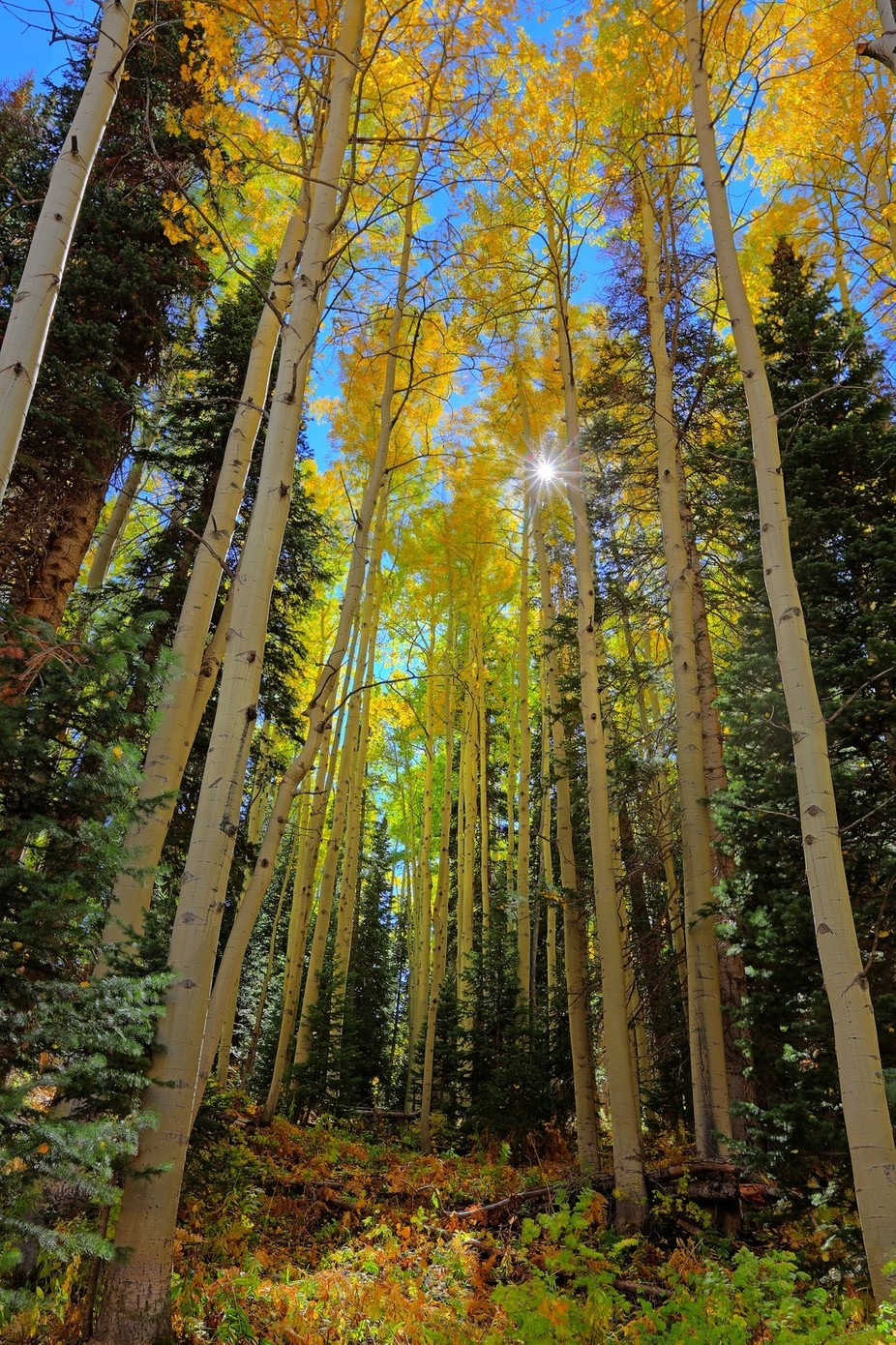 ASPEN GOLD, FALL 2016 by wolfinthewoods - Unforgettable Landscapes Photo Contest by Zenfolio
