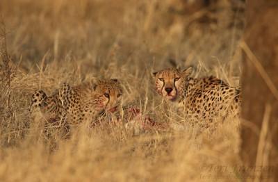 Cheetahs at Mealtime