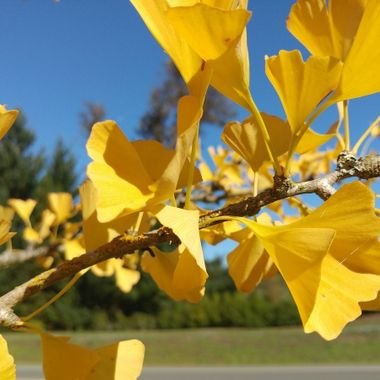 A BRILLIANT YELLOW branch mid oct 2016 garden at visitor center in Parksville