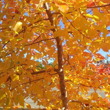 GOLDEN GARDEN - Oct 12, 2016 - Parksville Visitors Centre Garden
