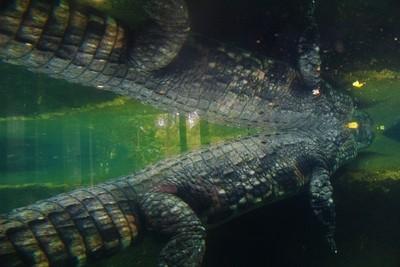 Reflective crocodile at the zoo