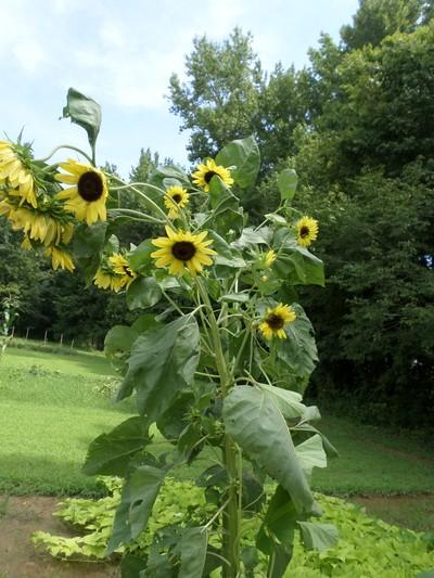 Plentiful Sunflows