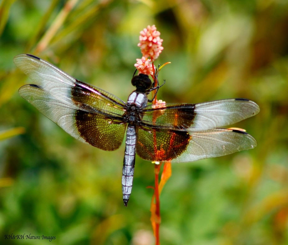 Female Dragonfly.
