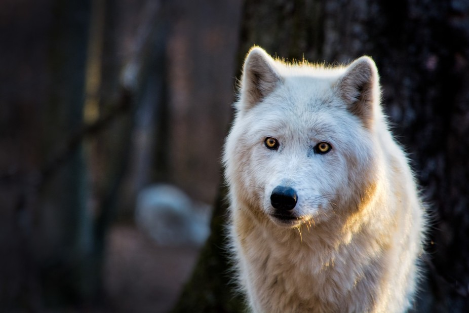 Wolves of the Lakota preserve