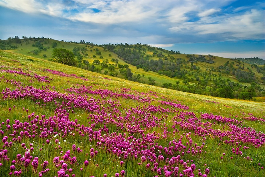 A hillside of beautiful Owl's Clover was the topic of this photograph taken with my Fuji...