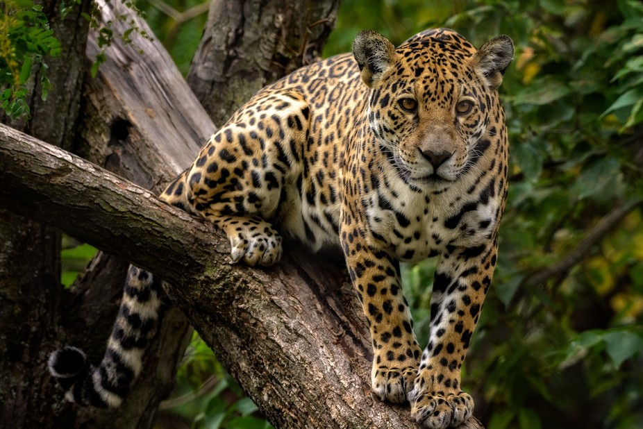 The jaguar (Panthera onca) is the largest cat of the Americas and a formidable predator.