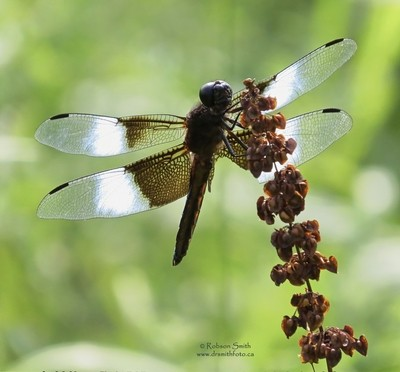 Male Widow Skimmer resting on Plant Summer Afternoon- Photo by Robson Smith