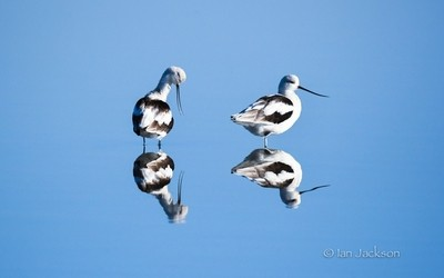 Avocet morning