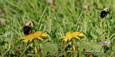 Eastern Bumble Bee Resting on Yellow Dandelion and then Flying away merged into 1 photo  - Photo by Robson Smith