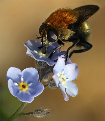 Pollinator in action
