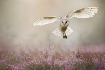 Barnowl in flight