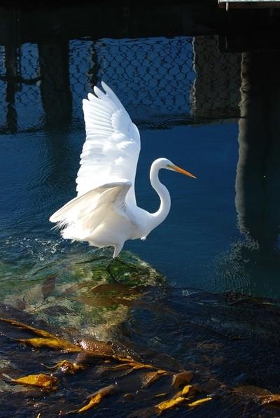 Egret Monterey
