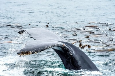 Humpback Whale with Sea Lions