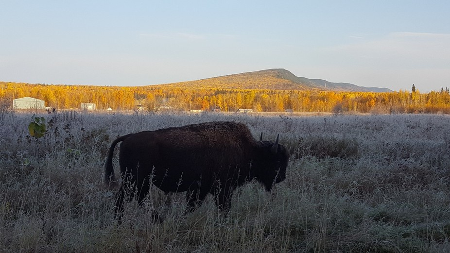 This is a bison I caught on the side of the road in my town of Fort Liard, NWT, Canada. The groun...