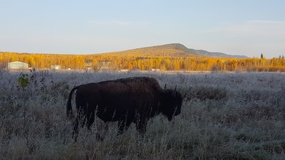 Bison hump, Willy's Hump