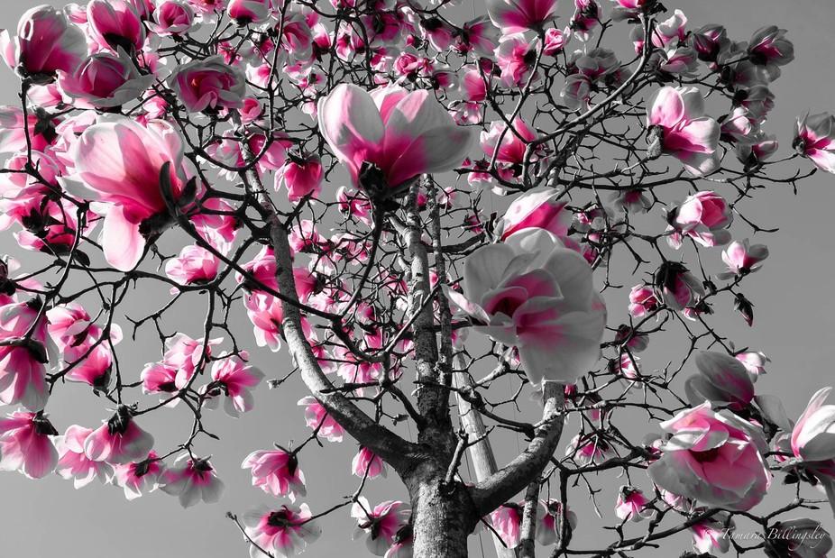 Taken looking upwards of a Magnolia Tree.