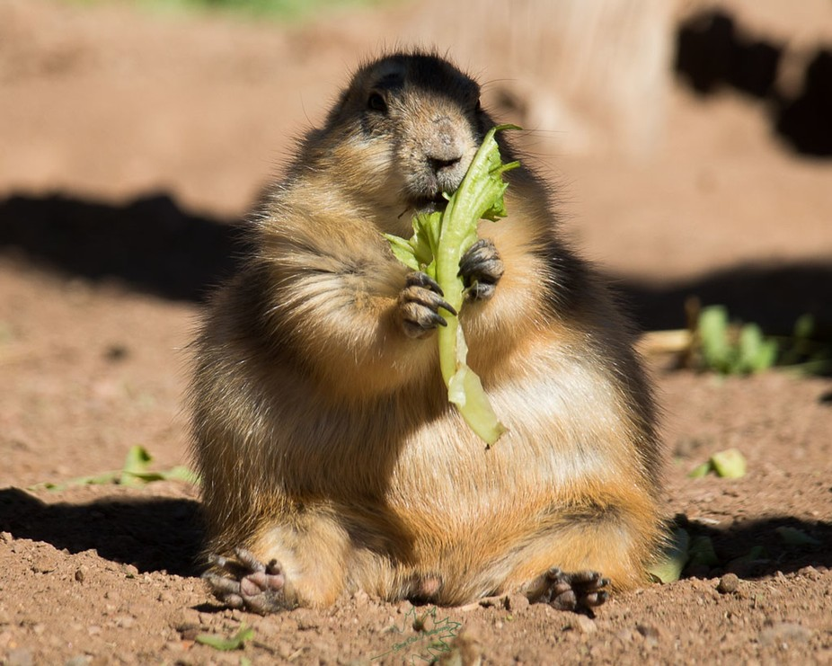 This lone prairie dog had all the food to himself.