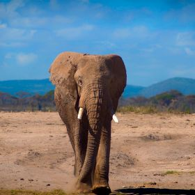 This elephant had been looking for food and water for a long time in the hot and dusty plains of Amboseli, Kenya.