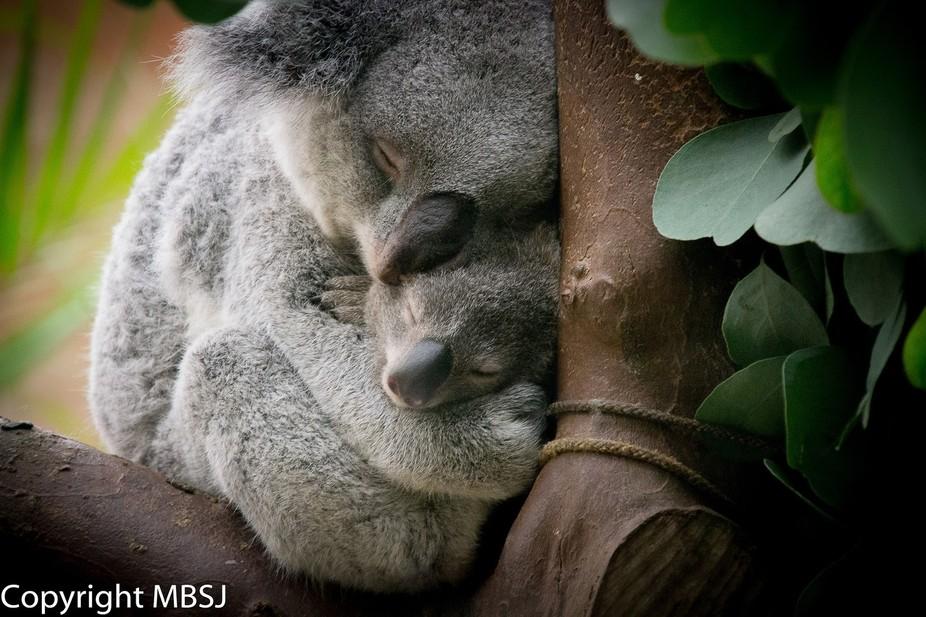 Koala familie :-)